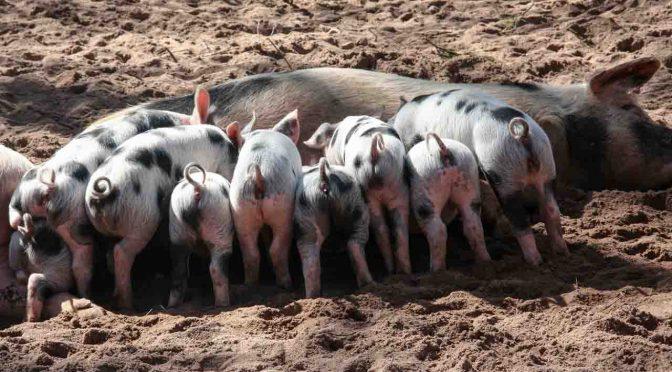 Schwein und Ferkel / digitale Landwirtschaft